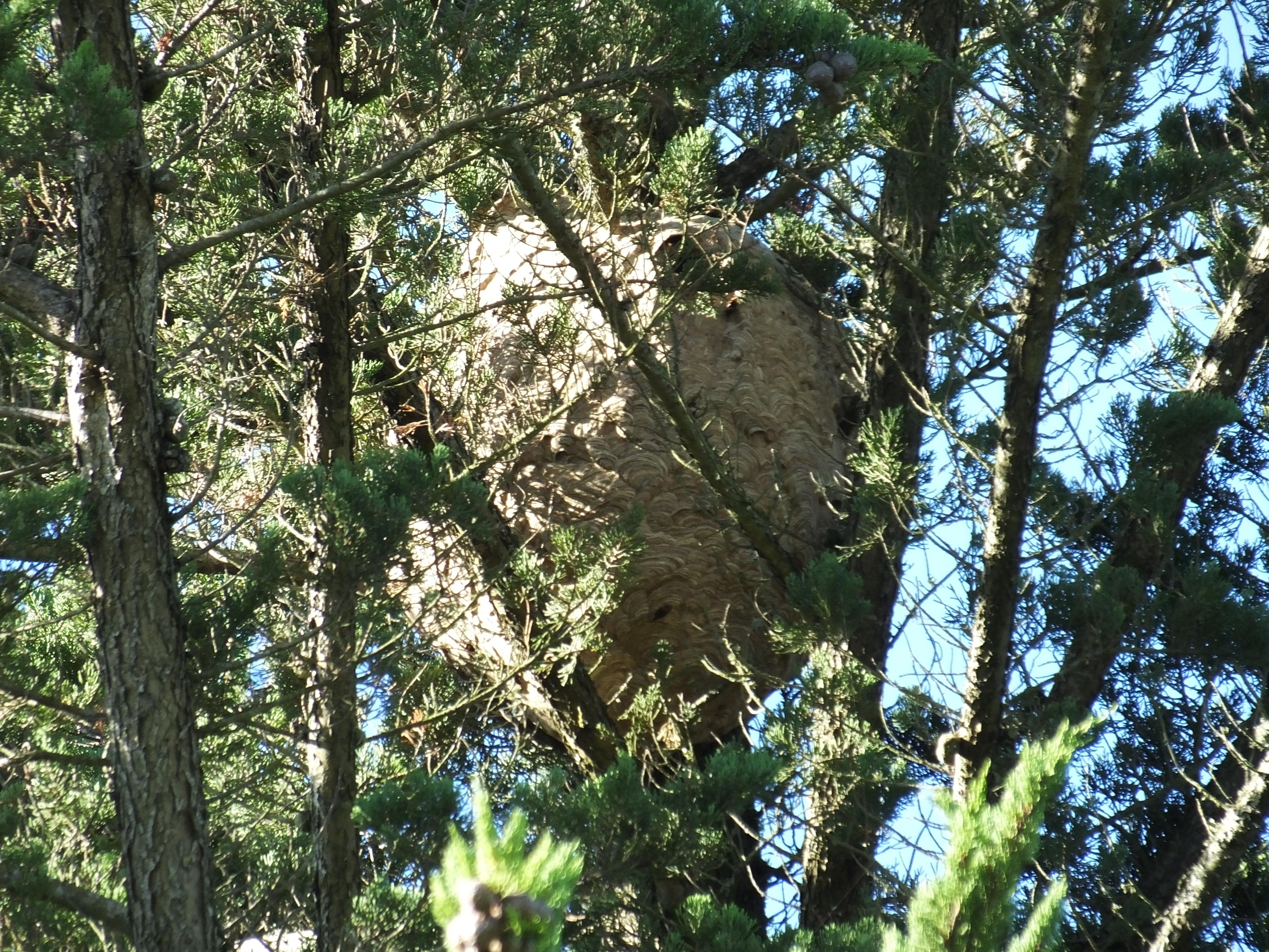 nid de frelons asiatiques dans arbre pollinis