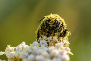Bumblebee coated in pollen