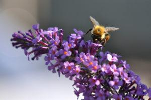 Abeille sur fleur de Buddleia