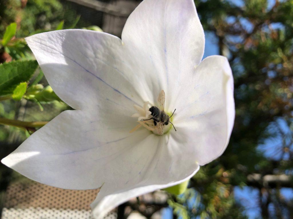 Pollinisateur-sauvage-fleur-blanche-guide-nectar