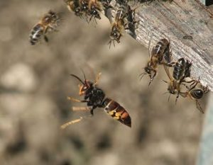Frelon-asiatique-ruche-J.-Haxaire