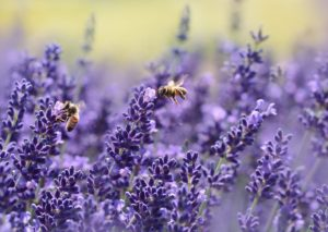 lavande-abeilles-pixabay-castleguard