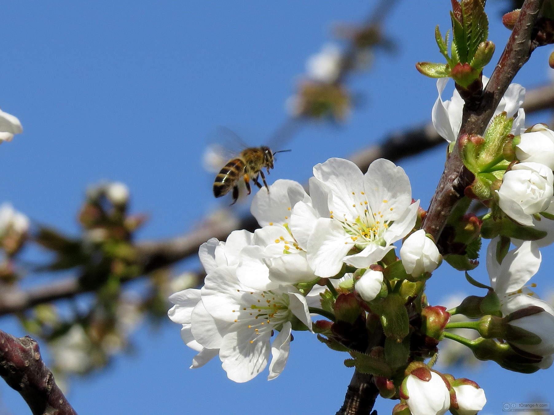 Bee flies de nectar