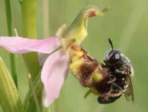 La sexualité des orchidées (c) C. Dirwimmer