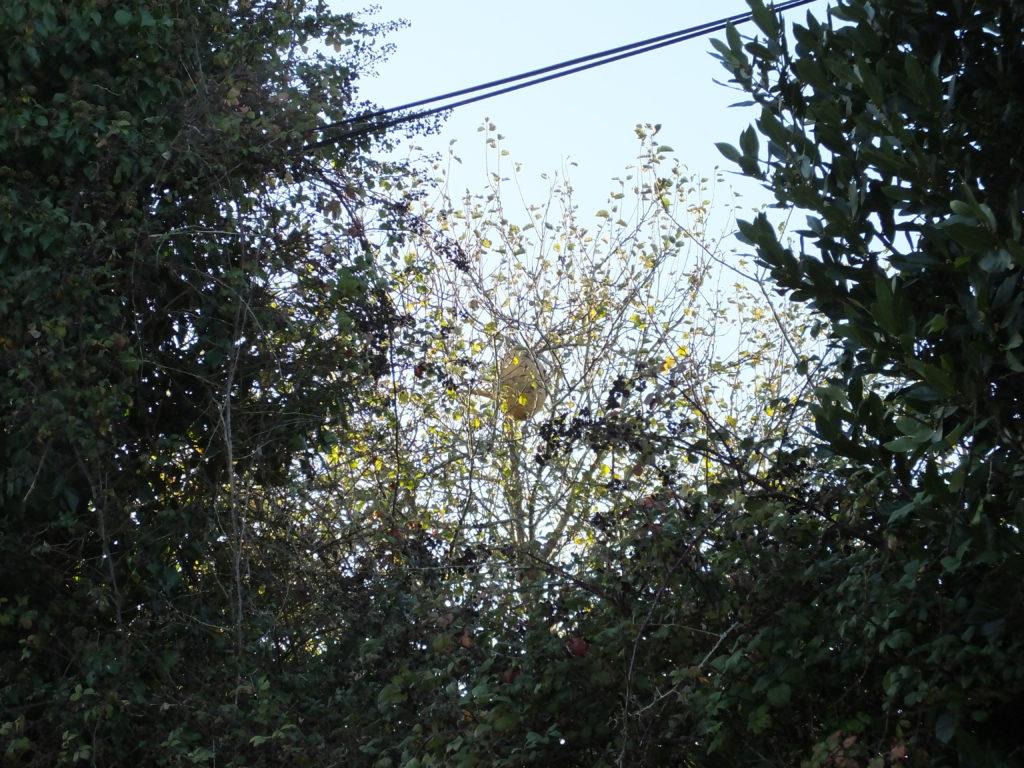 nid de frelons asiatiques ile de groix