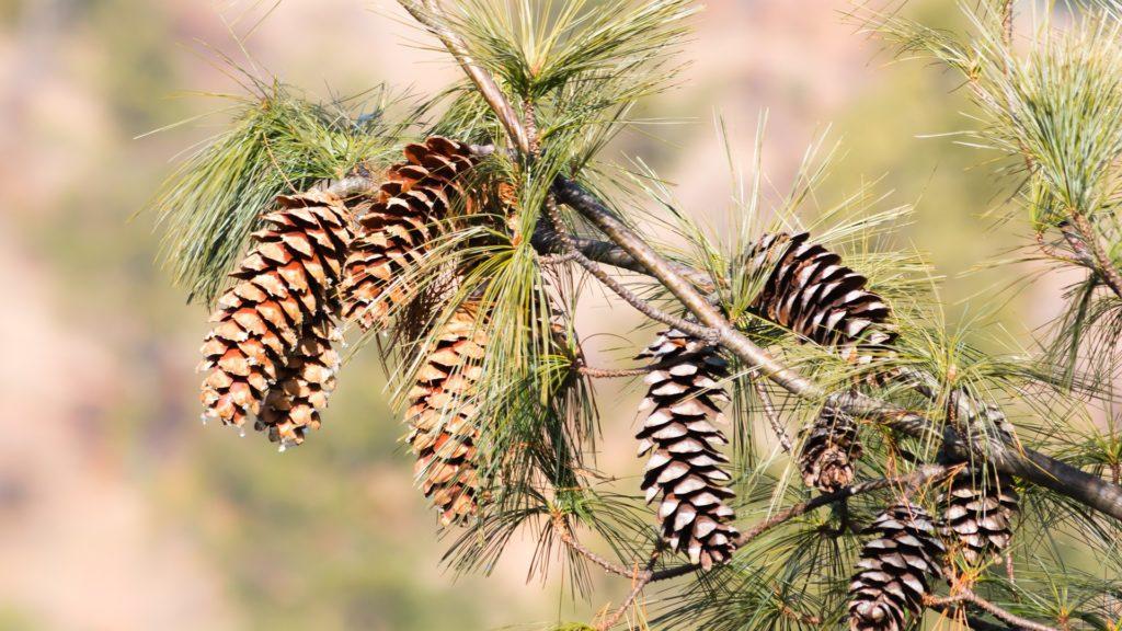 pine-PIXABAY