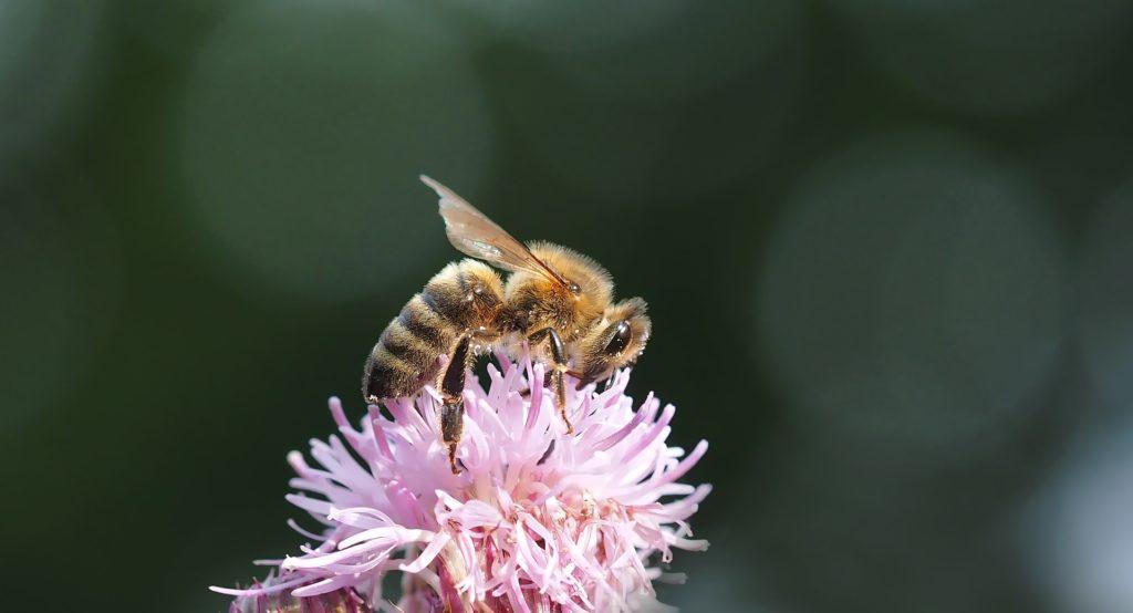 abeille domestique Pixabay