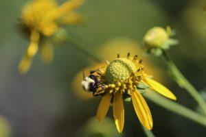 abeille sauvage fleur jaunce fond vert Javier Robles PIXABAY
