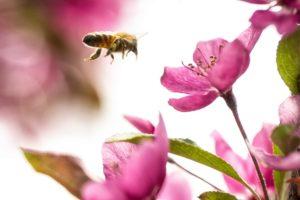 abeille en vol fleurs roses PIAXABAY CC0