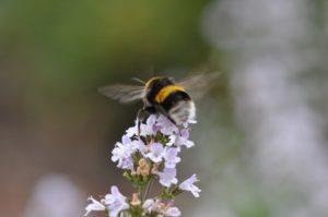 Bourdon ailes déployées fleur violet pale PIAXABAY CC0