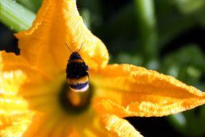 fleur de courgette jaune bourdon (c)Eric Michelat Pixabay CC0