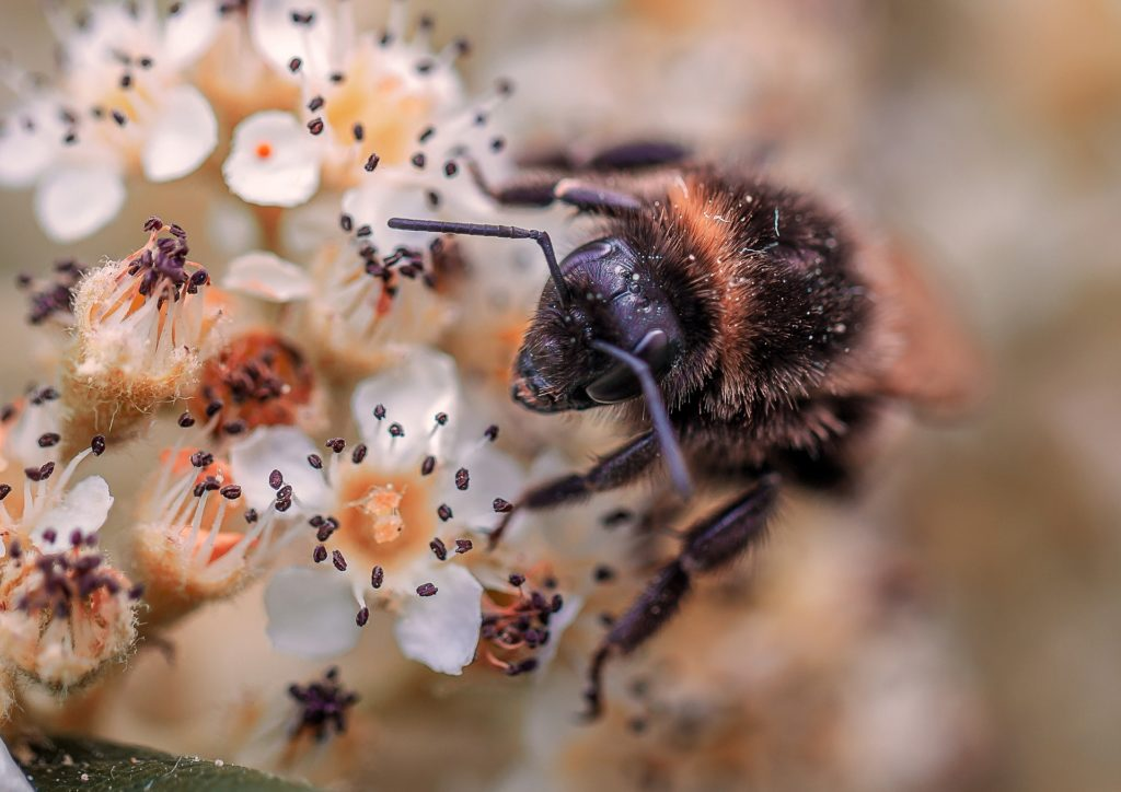 Gros plan abeille fleur violet foncé et blanc PIAXABAY CC0