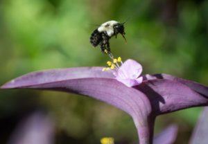 abeille-sauvage-en-vol-fleur-violette-piaxabay-cc0-aspect-ratio-236x164