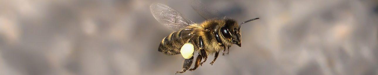 abeille-volant-avec-pollen-pixabay-umsiedlungen-aspect-ratio-1500x300