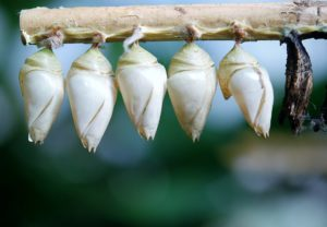 cocon-papillon-larve-pixabay-glady-aspect-ratio-236x164