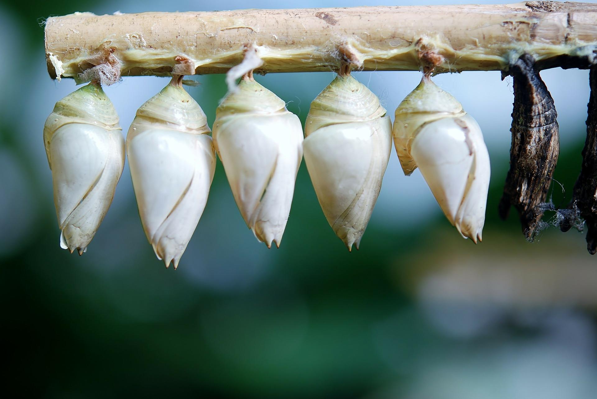 cocon-papillon-larve-pixabay-glady