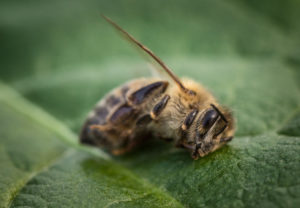 abeille-morte-sur-feuille-verte-c-photografiero-adobestock-aspect-ratio-236x164