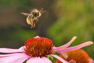 bumblebee-pixabay-skeeze