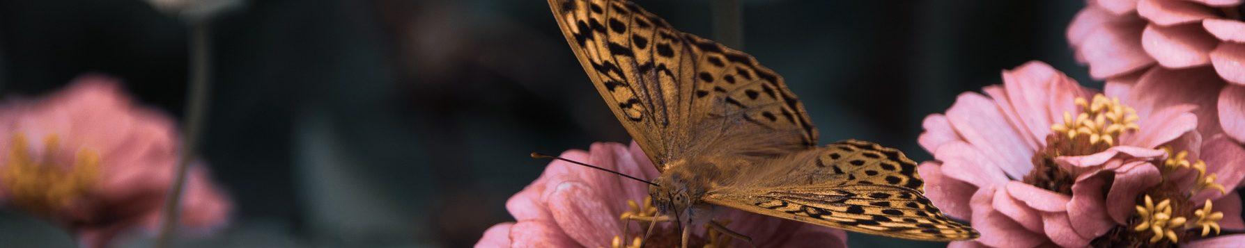 papillon-jaune-fleurs-roses-pixabay-meradis-aspect-ratio-1500x300