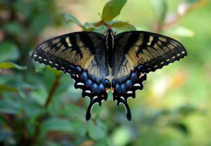 papillon-machaon-pixabay-paulbr75-aspect-ratio-236x164