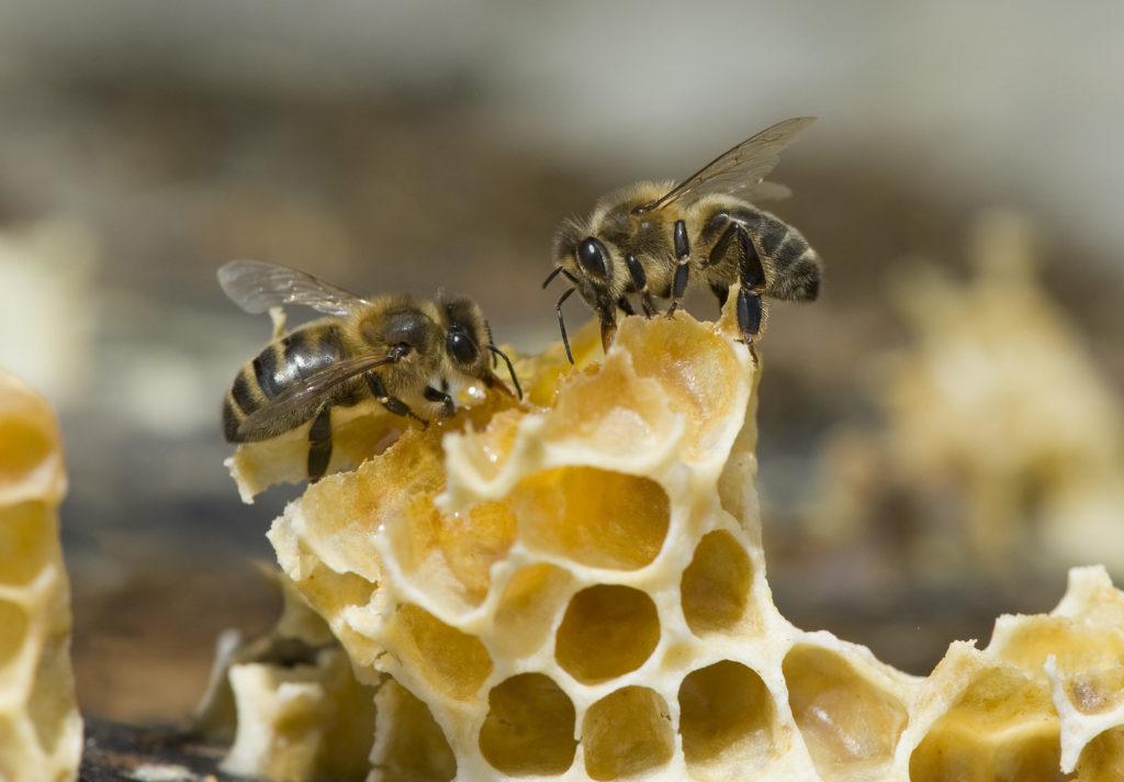 abeillemangemielrec-dsc4784-aspect-ratio-236x164