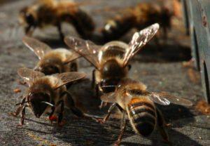 abeilles-noires-photo-bertrand-bernard-aspect-ratio-236x164