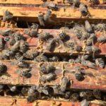 ile-de-groix-pollinis-pettis