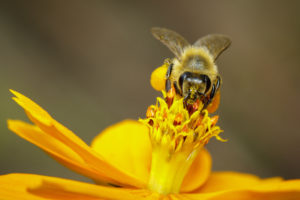 Image-of-bee-or-honeybee-on-yellow-flower-collects-nectar