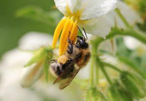 abeille-sauvage-fleur-de-pomme-de-terre-pixabay-cc0-aspect-ratio-236x164