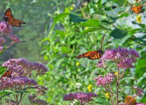 butterflies-18516_1920 PIXABAY