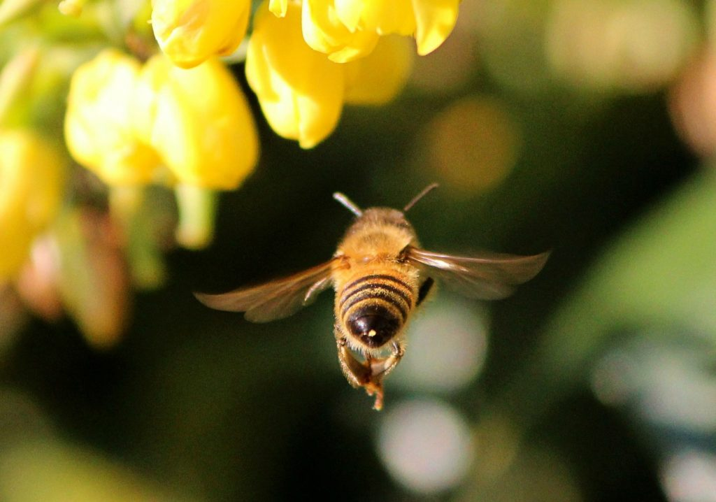 honey-bee-68166_1920 (c)JamesDeMers Pixabay CC0