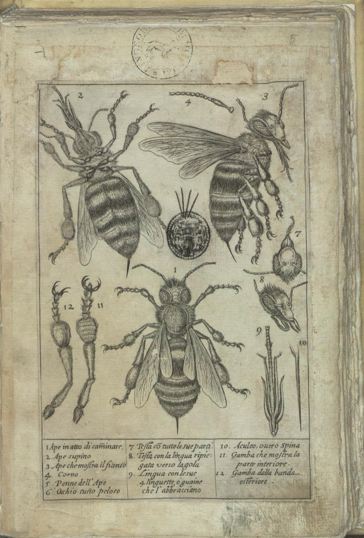 L'abeille examinée au microscope, par Federico Cesi et Francesco Stelluti, Apiarium, 1625
