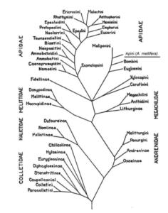 Phylogénie des Apoidea Apiformes basée sur la morphologie des adultes (d'après Michener 1944