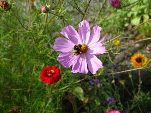 bourdon fleurs IUCN