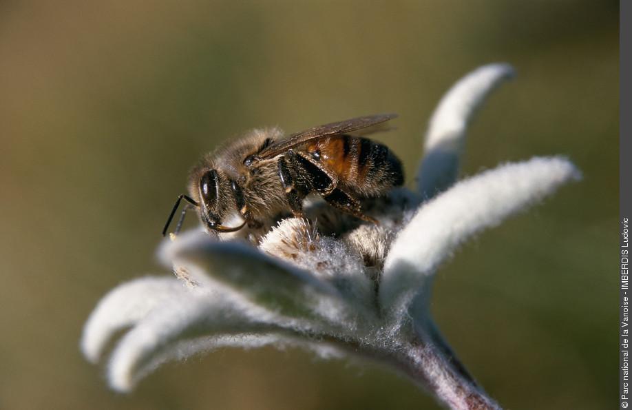 abeille edelweiss