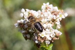 abeille-noire-sarasin
