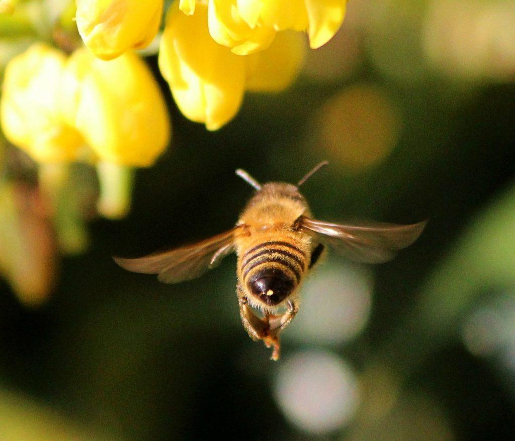 gros-plan-abeille-fleur-violet-fonce-et-blanc-piaxabay-cc0-aspect-ratio-175x150