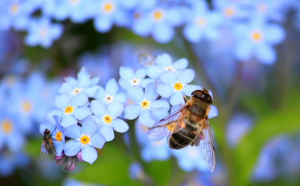 abeille et mouche sur fleur bleue-pxhere.CC0