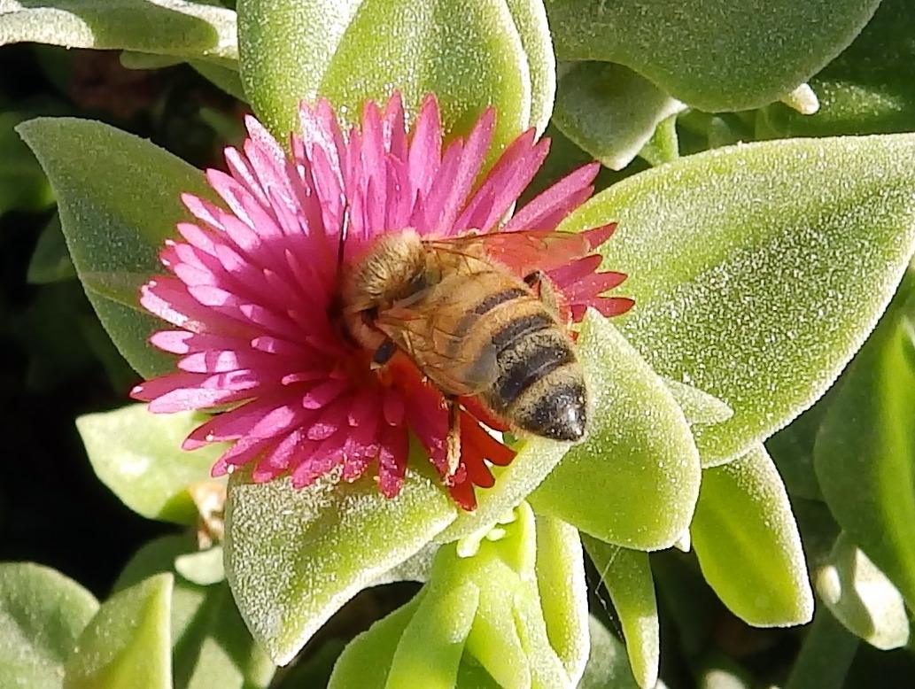 apis mellifera ruttneri, abeille locale maltaise