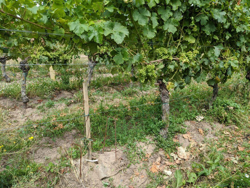 agroforesterie-vignes-quarterons