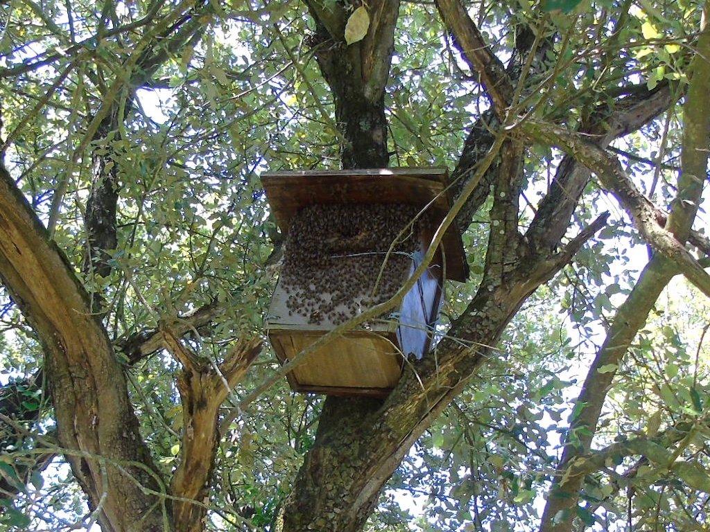 Colonie d'abeilles melliferes dans nichoir a chouette VA