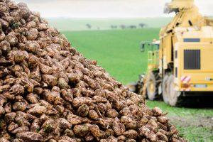 Récolte des betteraves