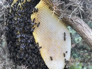essaim-sauvage-Groix-(c)POLLINIS