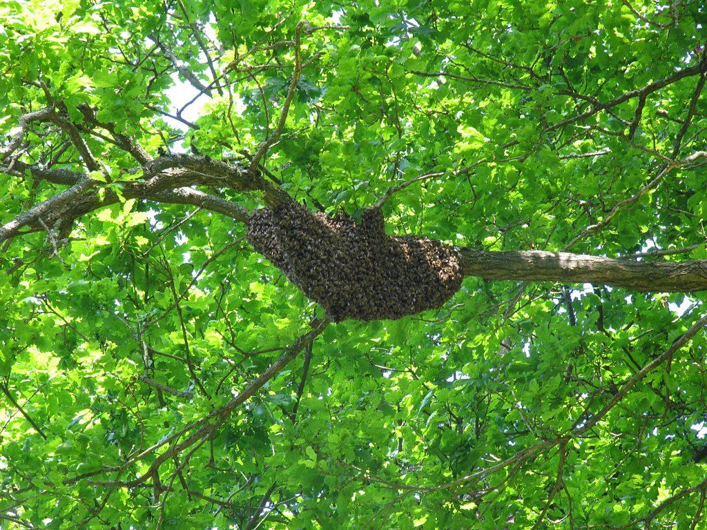 Essaim d'abeilles sur la branche d'un chêne.