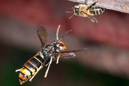 Frelon asiatique abeille - crédit Danel Sollabarrieta