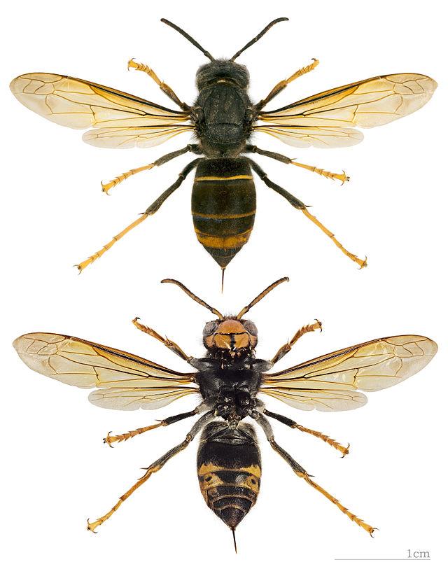 Frelon asiatique_Vespa_velutina_nigrithorax_MHNT