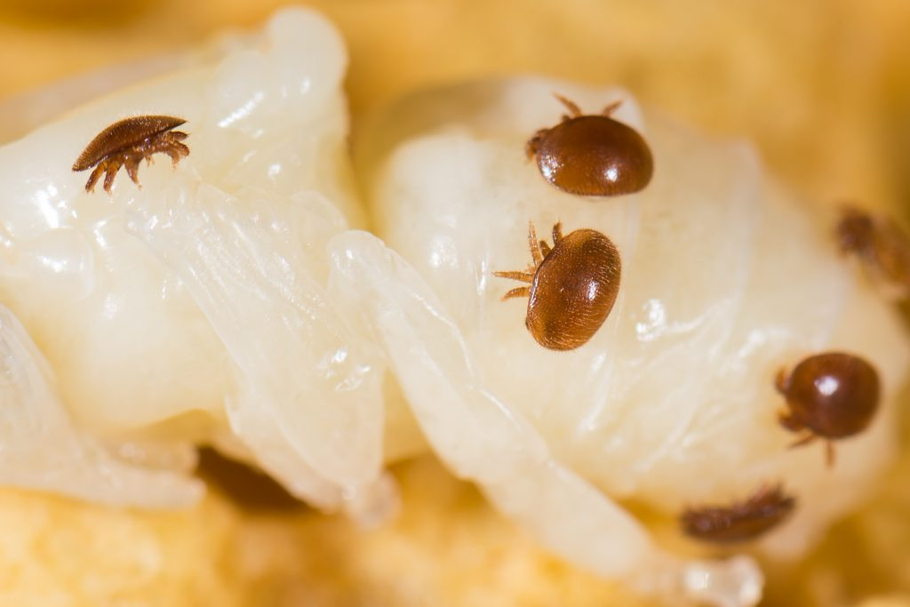 Varroamilben (Varroa destructor) an einer Puppe Drohne im Bienenstock der Biene (Apis mellifera)