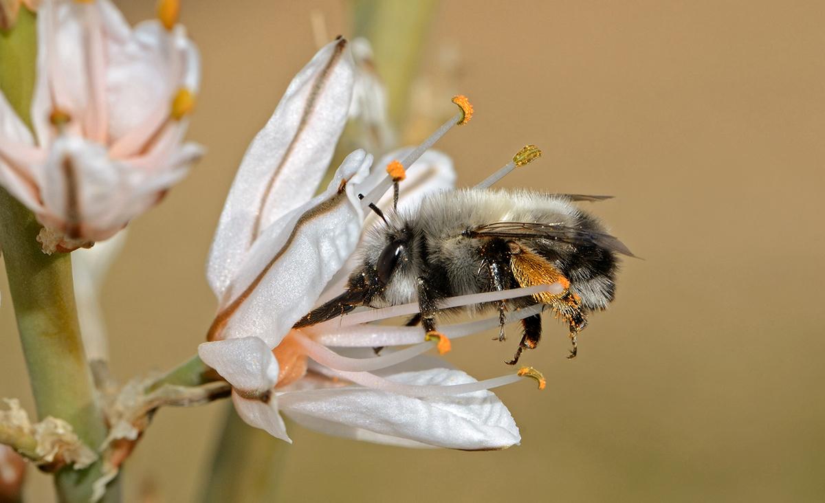 Pollinis_Abeilles_sauvages_les_véritables_championnes_de_la_pollinisation_Anthophora_on_Asphodelus_Wiki-CC-Gidip