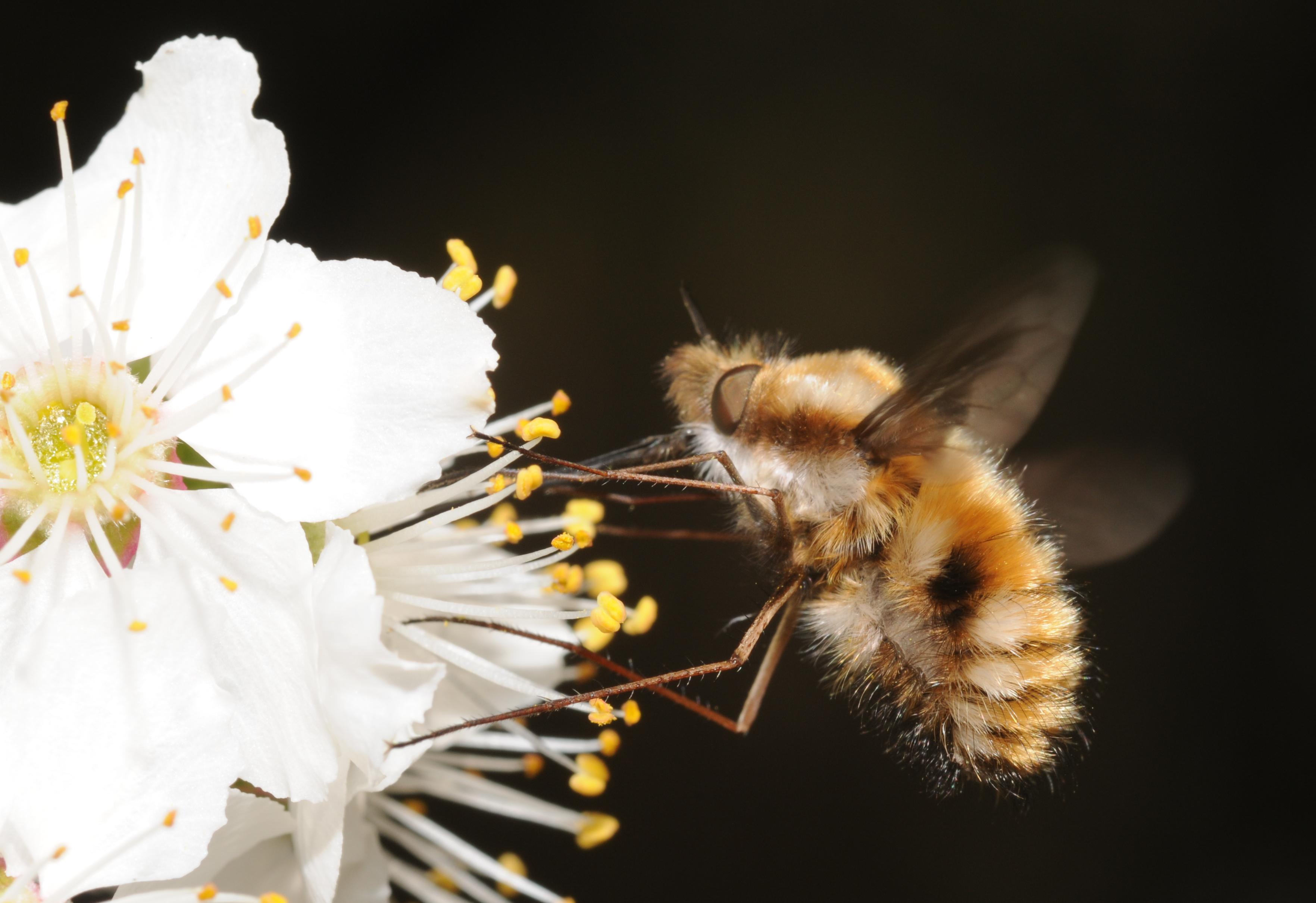 POLLINIS défend tous les pollinisateurs. Ici un bombyle. Photo : Thomas Bresson.