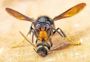 Frelon asiatique découpant une abeille © Biosphoto - P. Goetgheluck